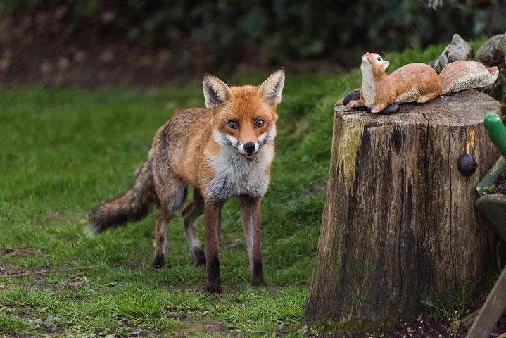 Young Fox III