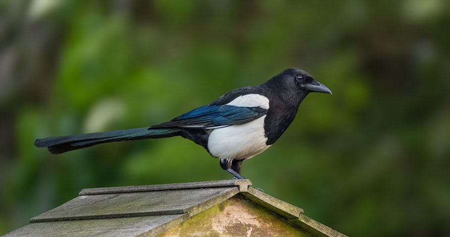 Common Magpie.