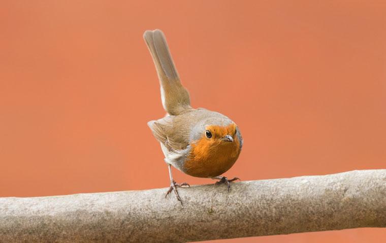 Crouching Robin.