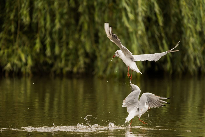Dance of the gulls.