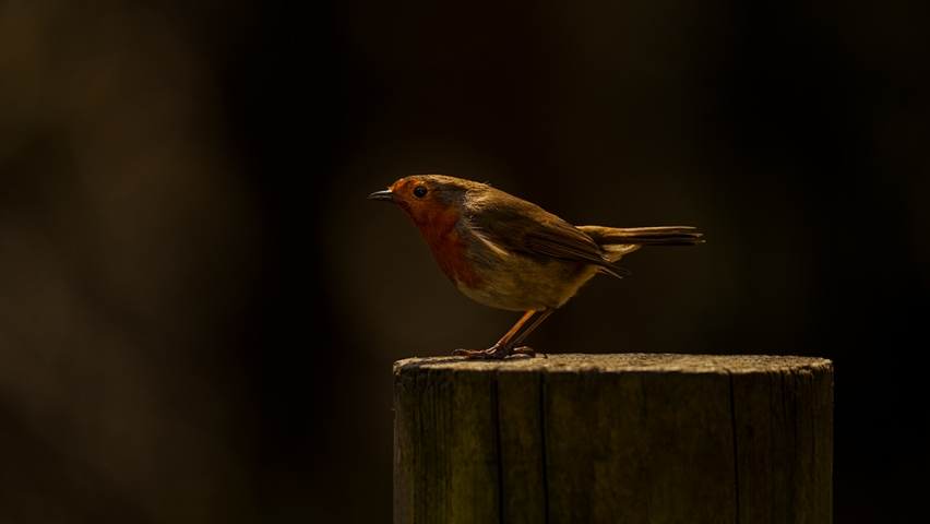 European Robin Saltwells Nature Reserve.