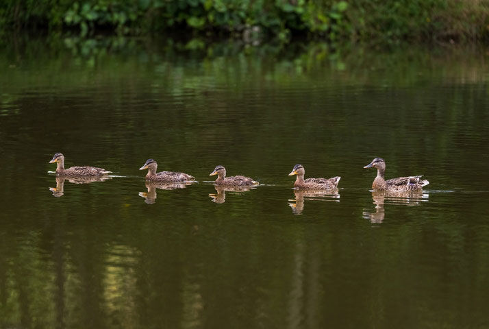 Family of mallard ducks.