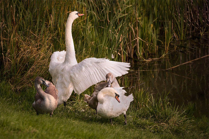 Family of Mute Swans.