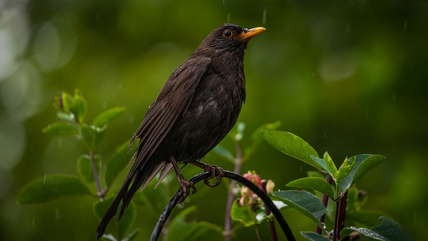 Female Blackbird in the rain.