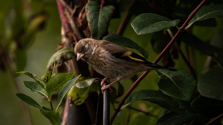 Fledgling Goldfinch.