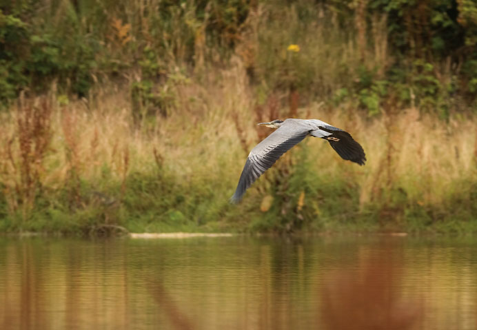 Grey Heron in flight.