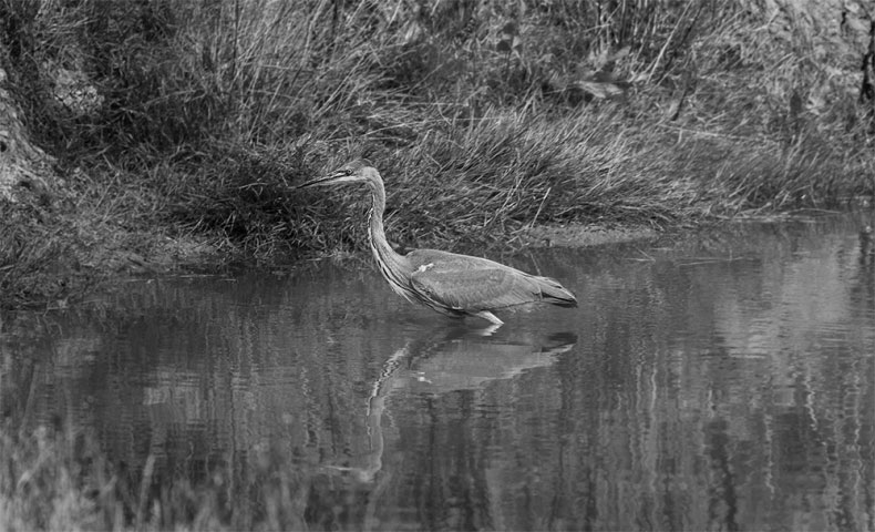Grey Heron Stalking.