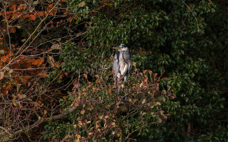 Leasowes Grey Heron, Halesowen West Midlands.