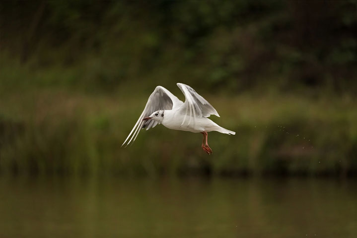 Little gull in flight.