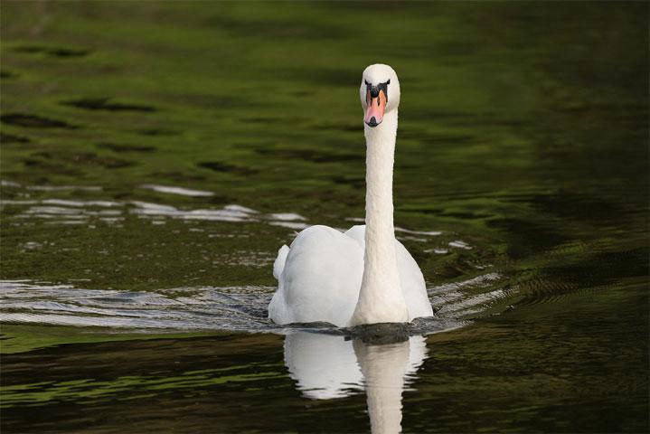 Majestic Mute Swan.