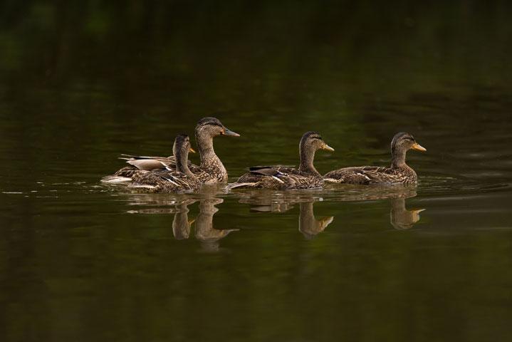 Mallard duck family.