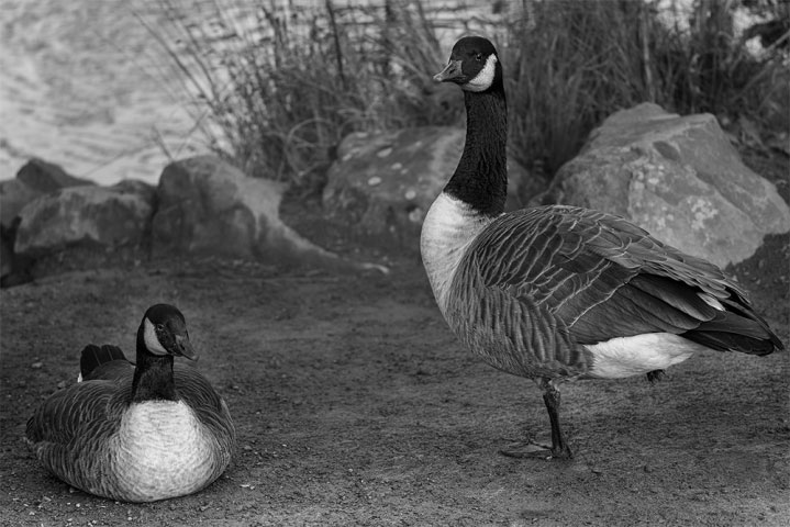 Pair of Canada Geese in Black and white.