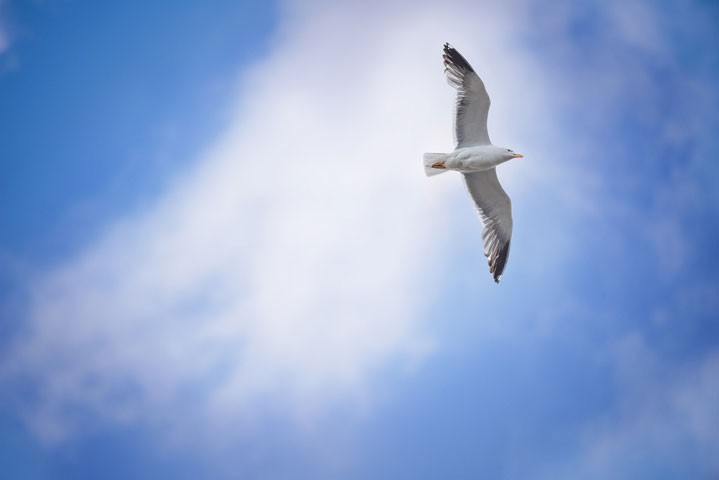 Seagul in flight.