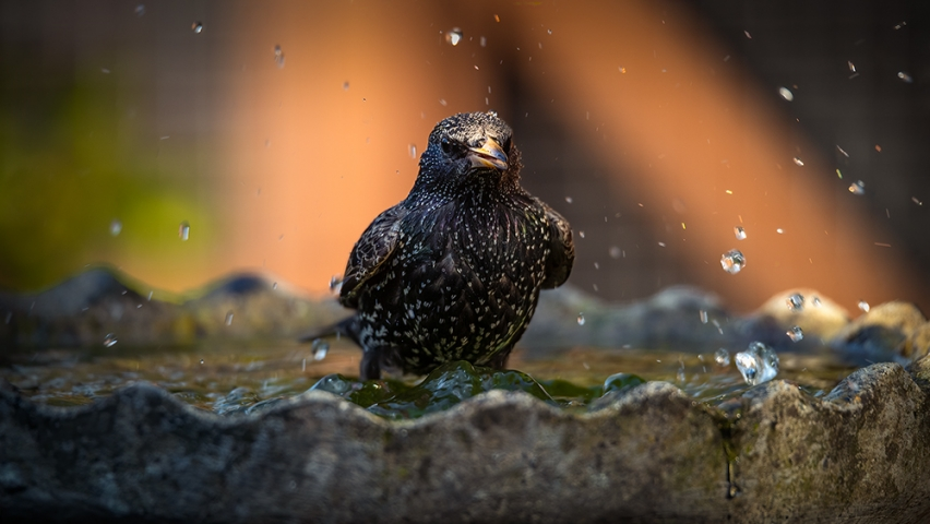 Starling taking a bath...
