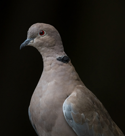 The Collared Dove III.