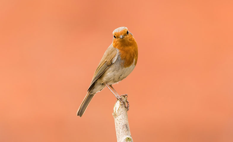 The European Robin.