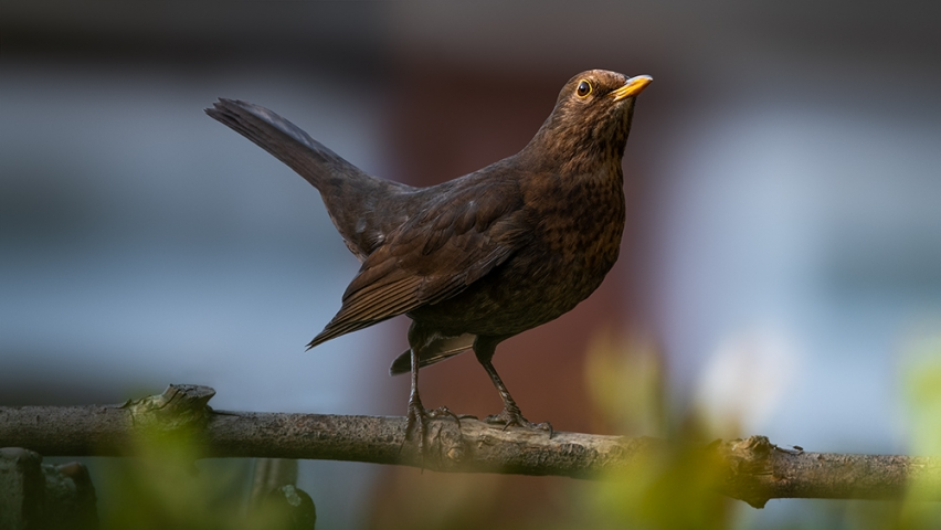 Urban female blackbird..