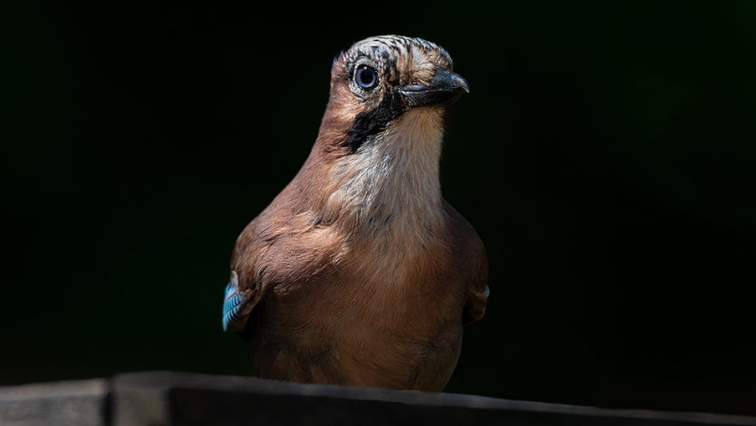 Urban Jay up-close.