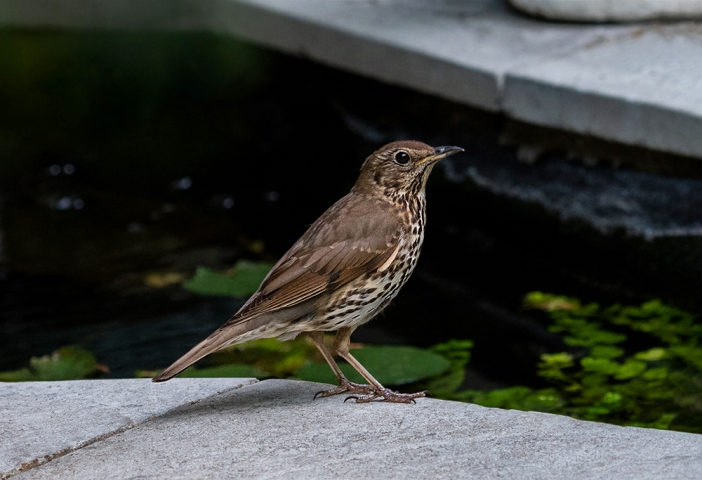 Urban Song Thrush.