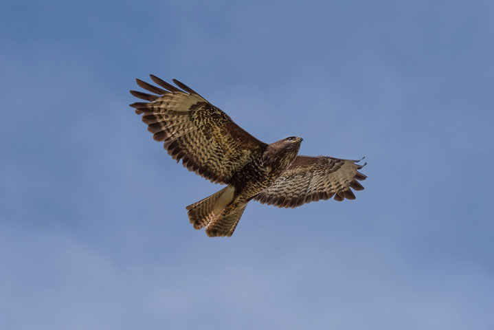 Wild buzzard on the wing.