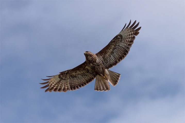Wild buzzard on the wing II.