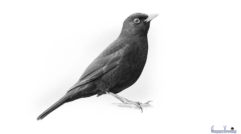 Black bird in black and white.