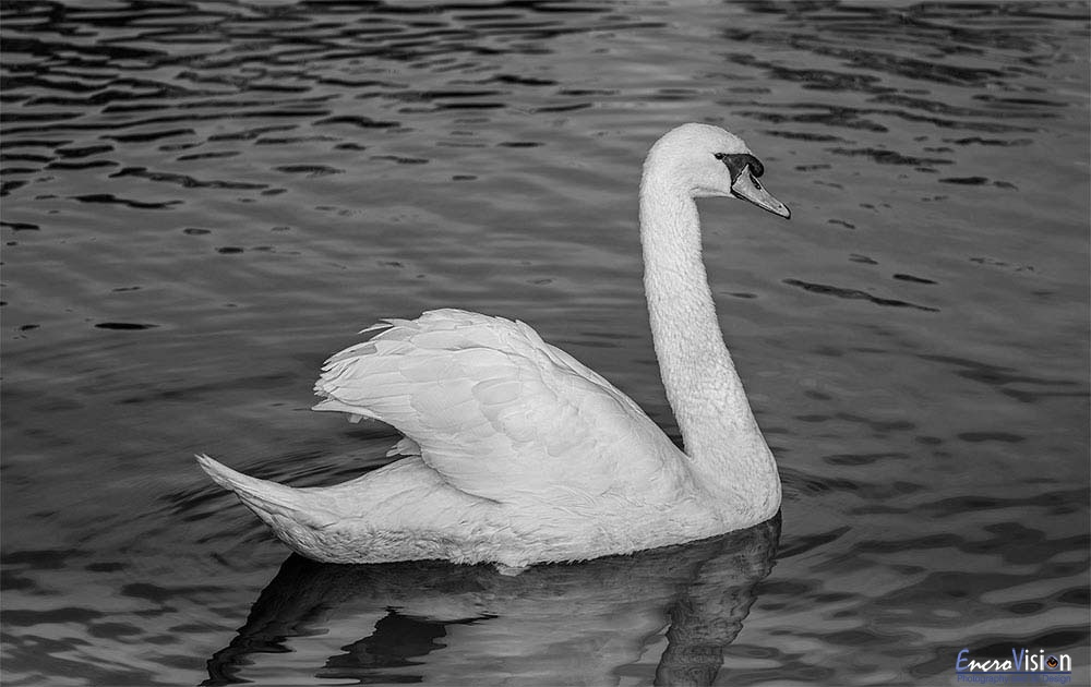 Mute Swan in Black and White.