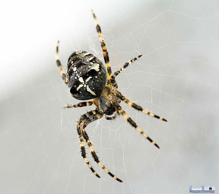 Garden Cross Spider