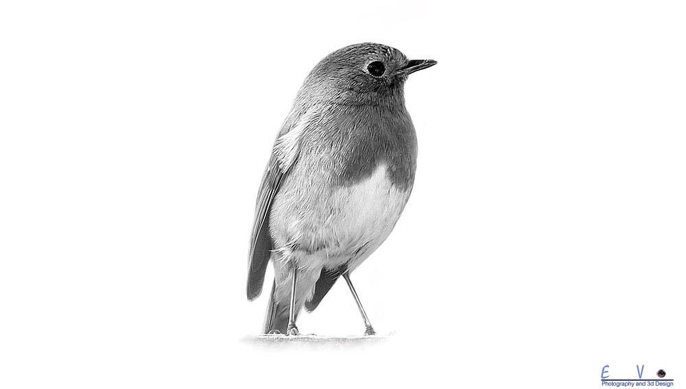 Robin in Black And White.