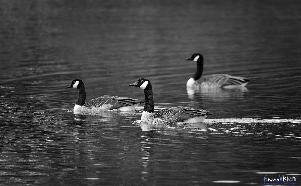 Canada Geese.
