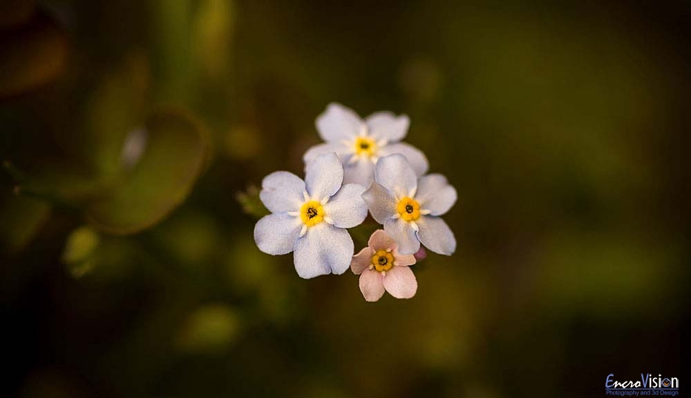 Forget Me Nots.