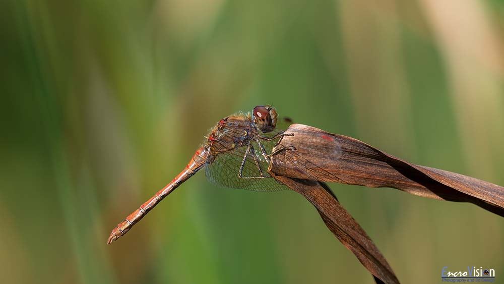 Sympetrum striolatum (Common Darter)