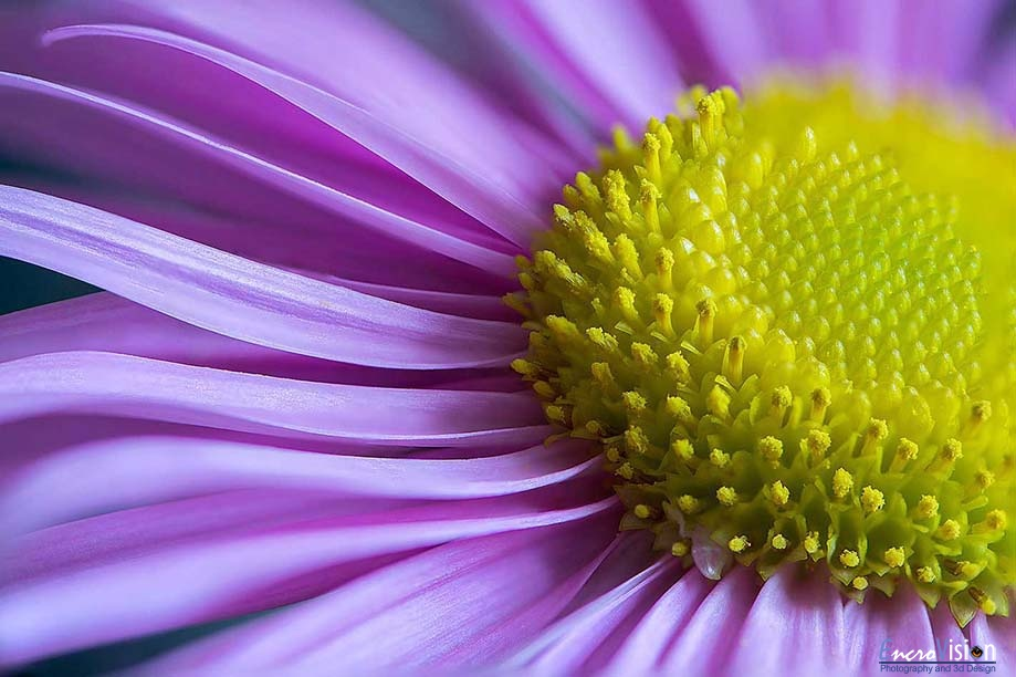 Pink Aster Flower