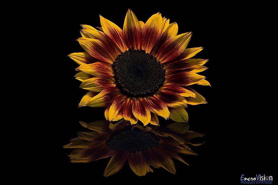 Sunflower Bicolor