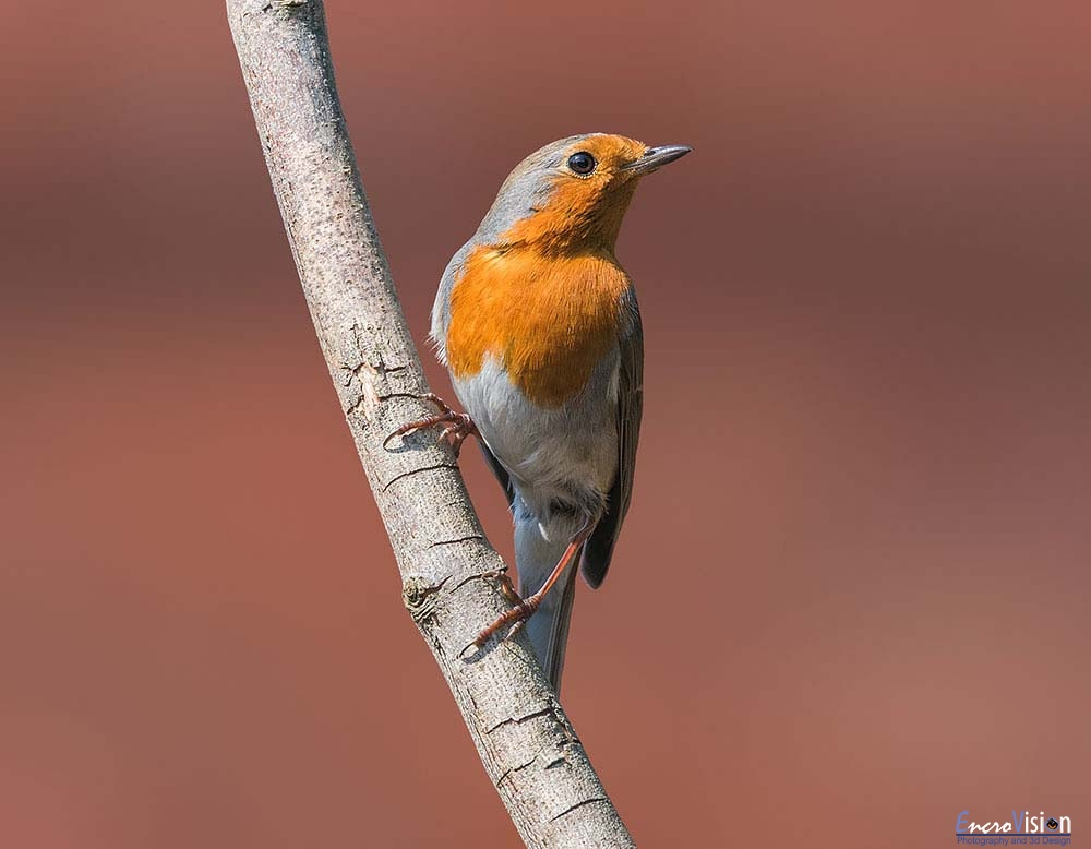 A Proud European Robin.