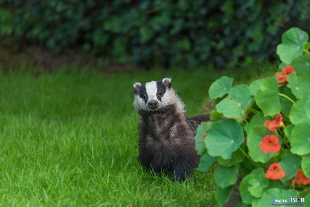 Young wild urban badger.