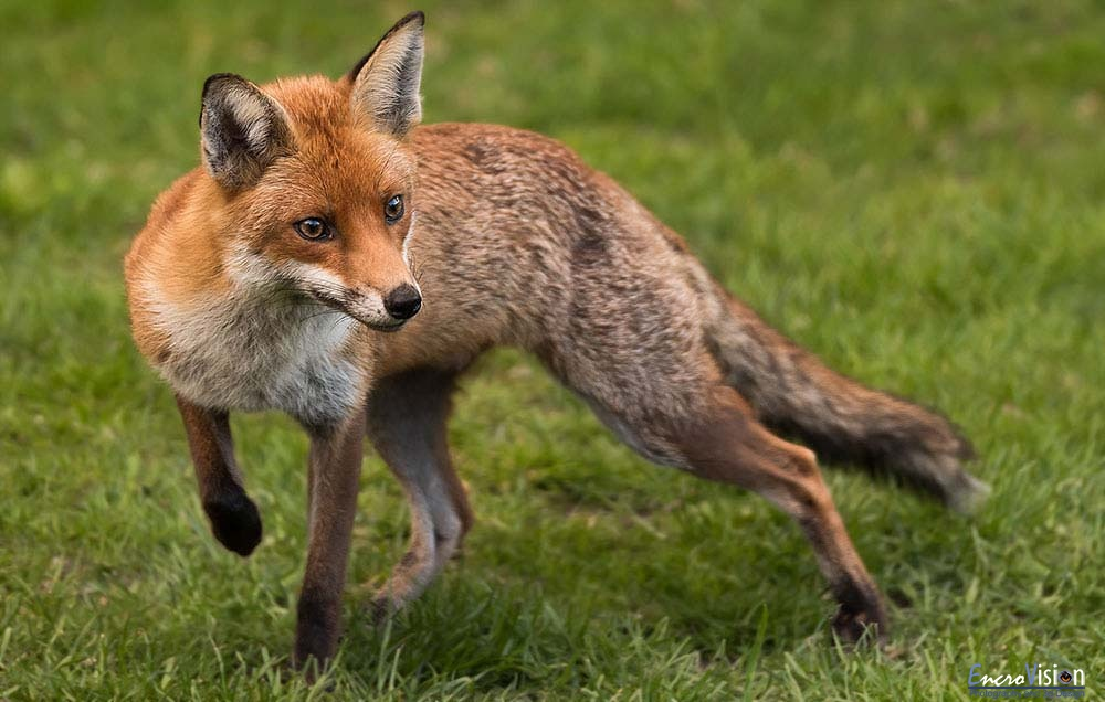 The Red Fox.