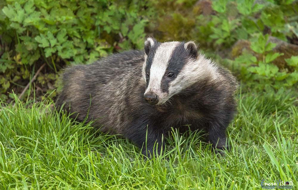 The Badger.