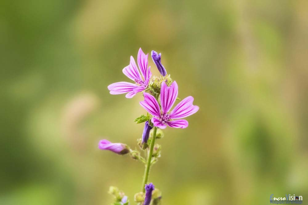 Malva neglecta (common mallow).