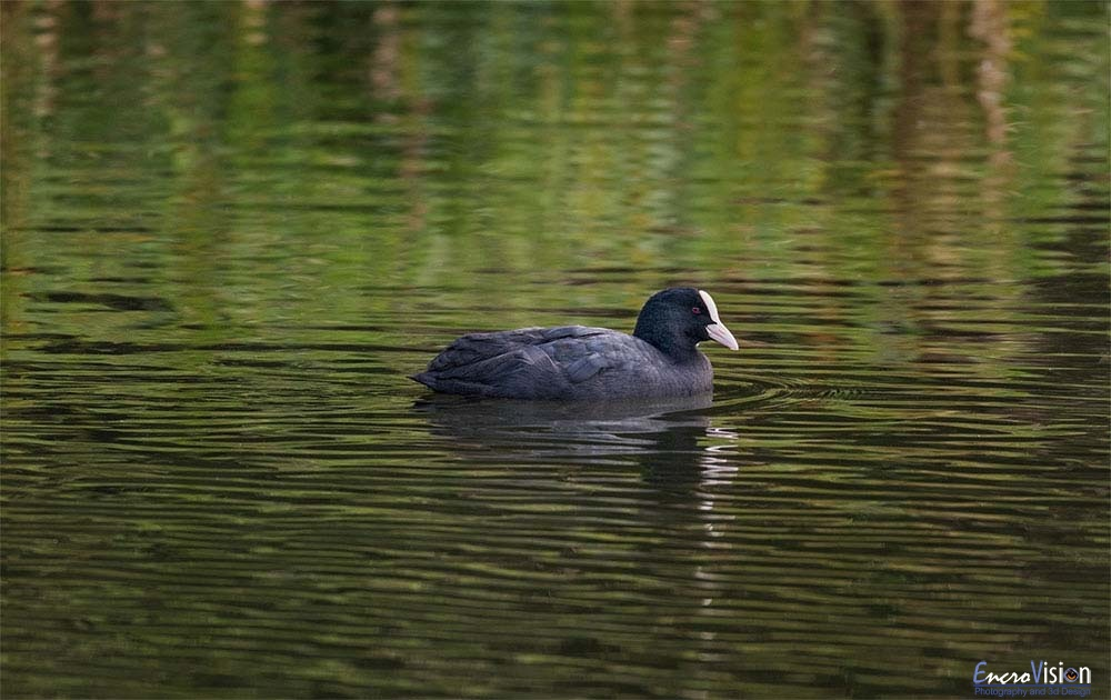 Adult Coot.