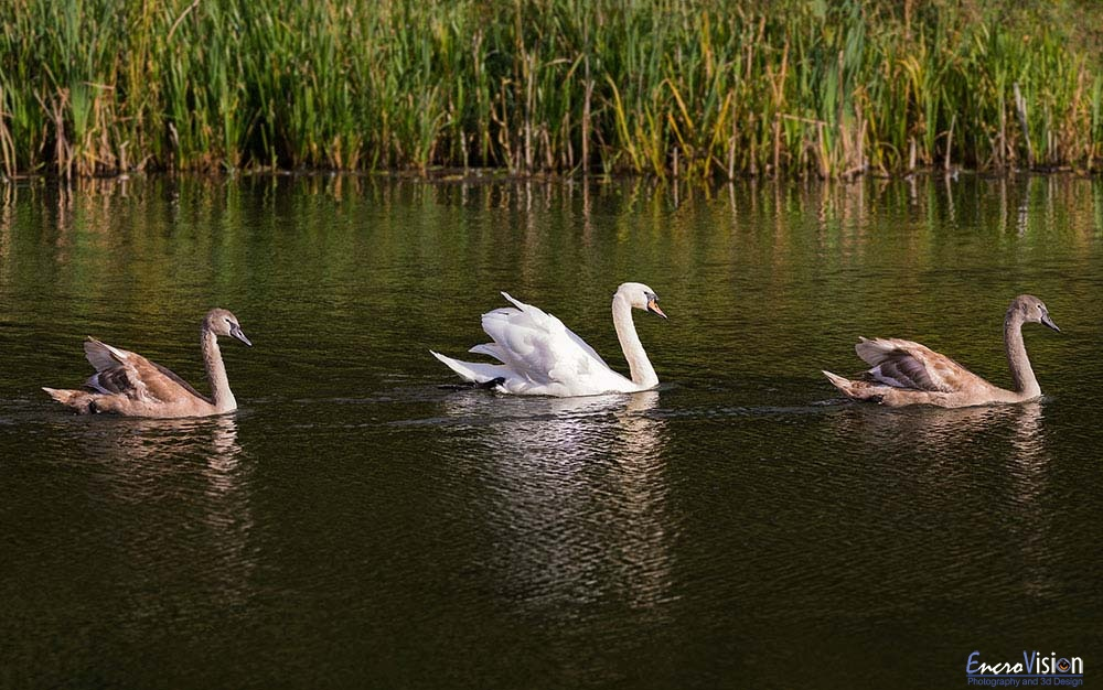 Family of Mute Swans II.
