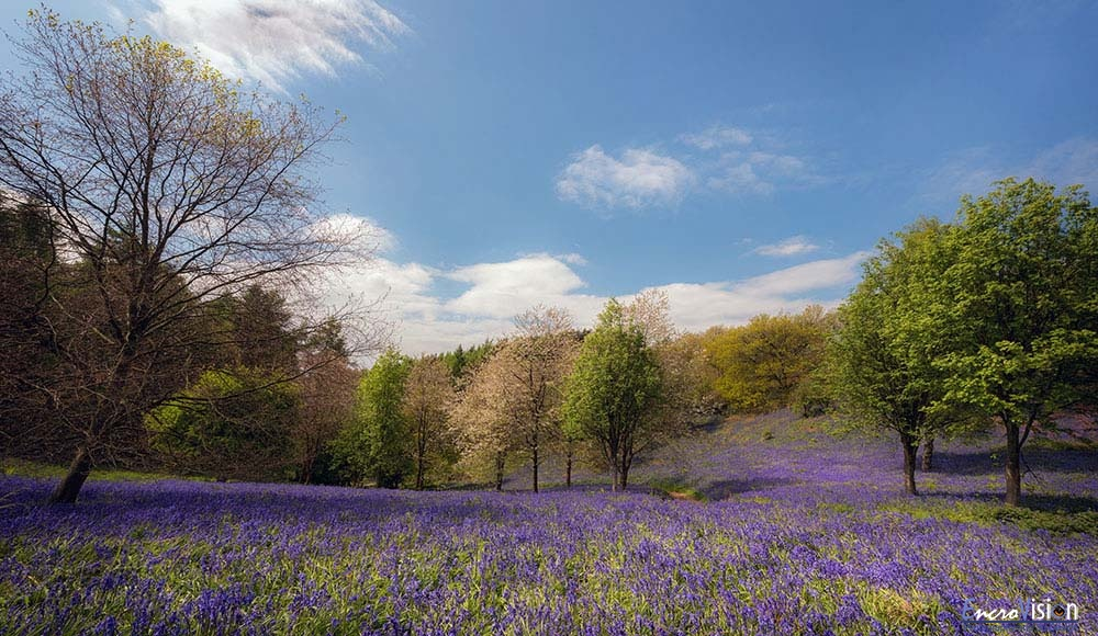 Bluebell Valley Clent Hills.