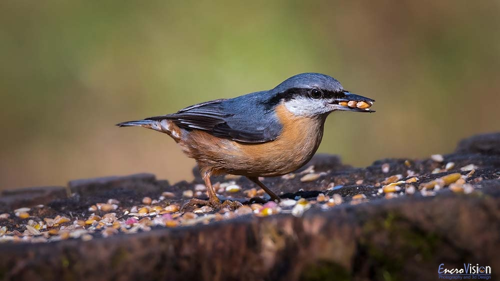 Nuthatch at the Saltwells Local Nature Reserve._1