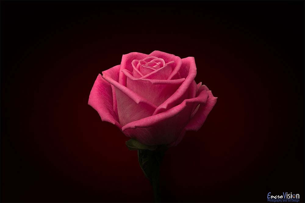 Pink Rose on Black.