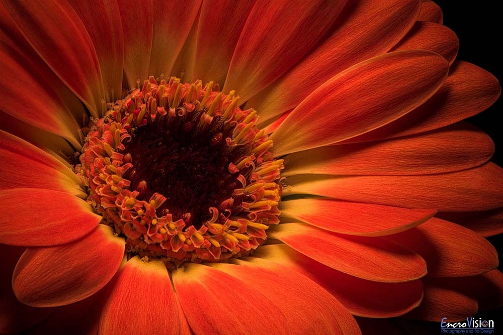 Orange Gerbera flower on Black._1