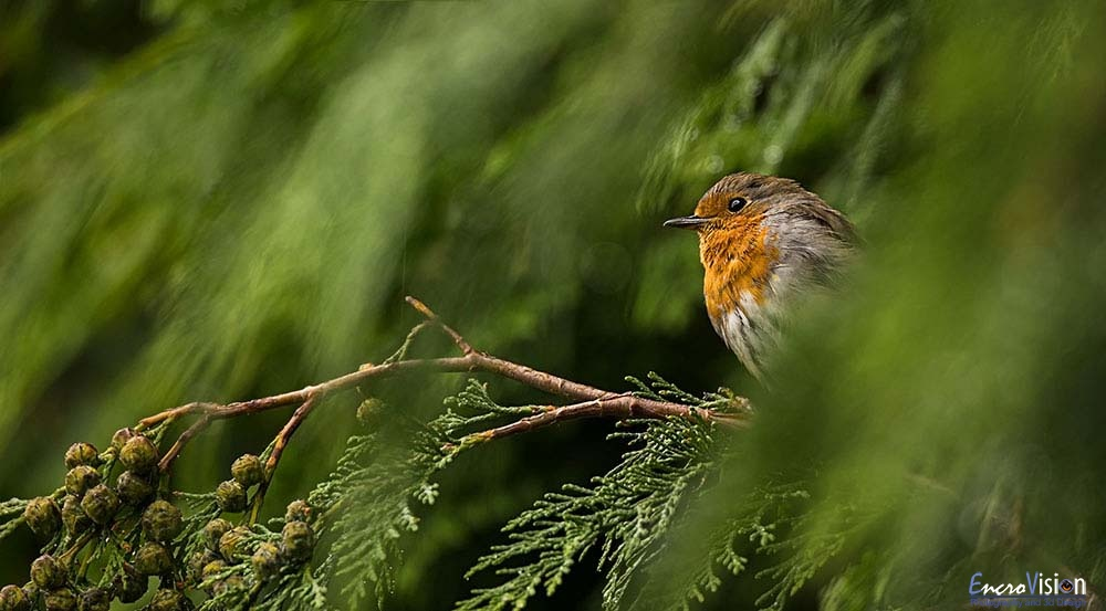 Robin in the rain.