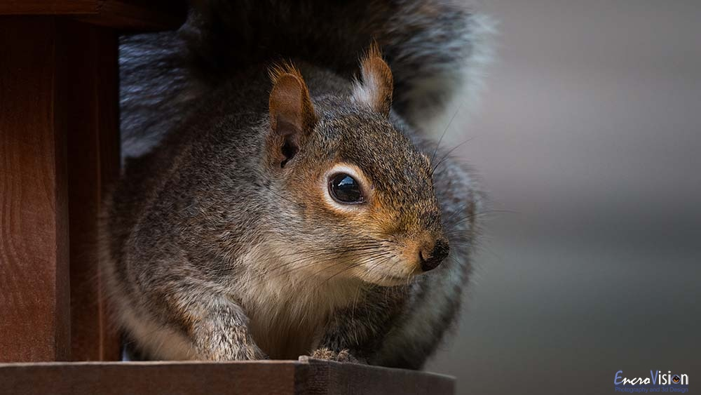 Urban Grey Squirrel.