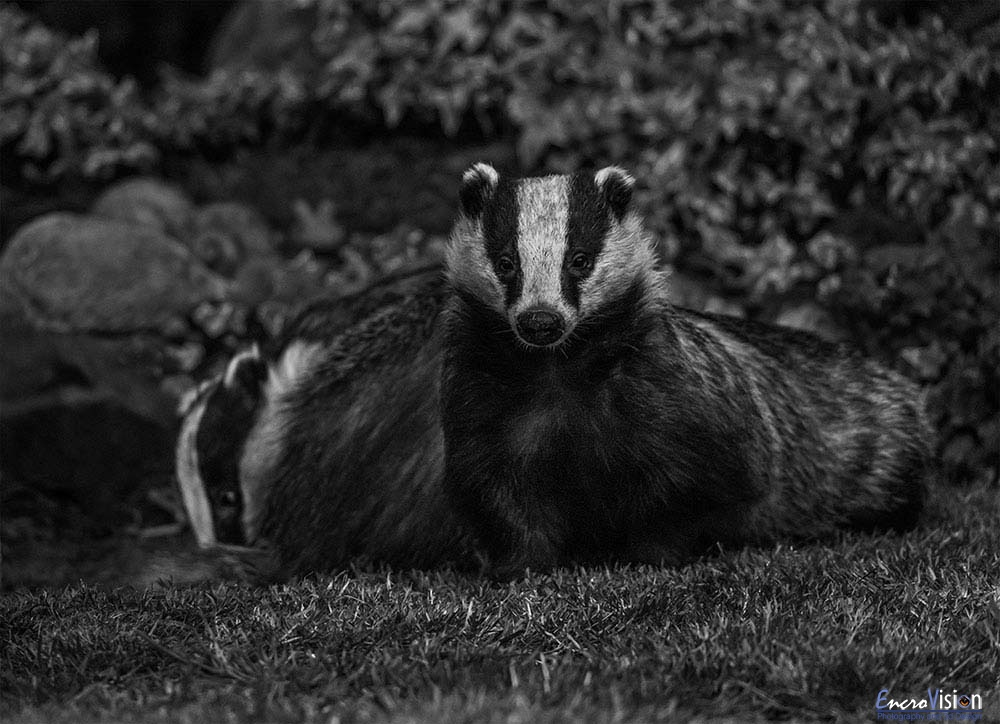 Pair of urban wild badgers in black and white.