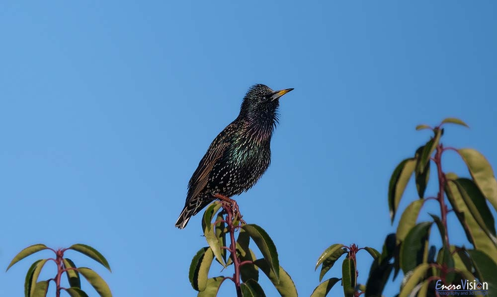 Starling resting and enjoying the sun...
